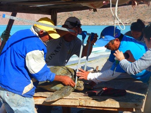 measuring-a-turtle-in-caleta-partida
